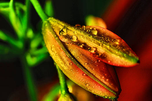 Water drops on a lily by Jeff Swan