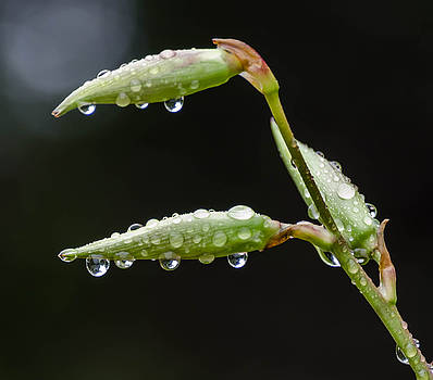 Water drops on pods by Don L Williams