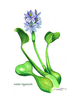 Michael Earney - Water Hyacinth - Eichhornia crassipes