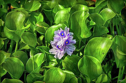 Water Hyacinth by Hanny Heim