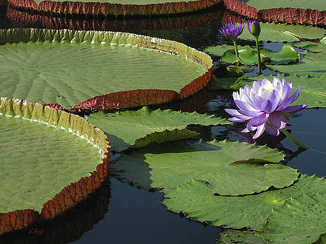 Water Lilies by Gordon Beck