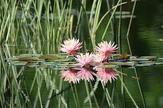 Water Lilies by Jenny Carter