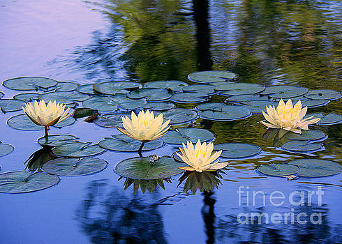 Water Lilies by Lisa L Silva