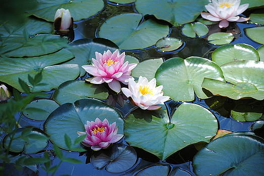 Water Lilies by Lisa Mueller