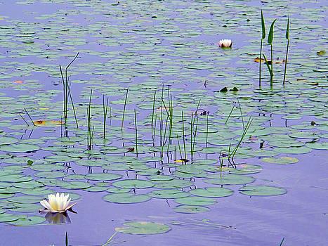 Water Lilies by Lynn Harrison