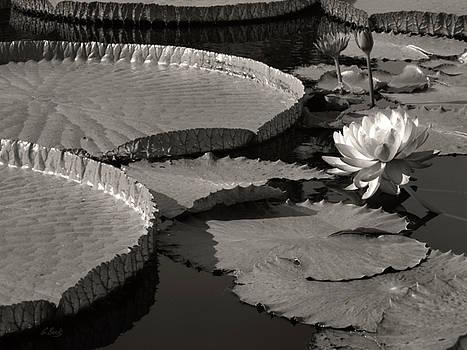Water Lilies, Monochrome by Gordon Beck