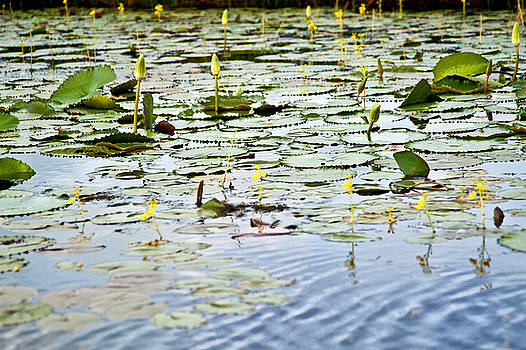 Water Lilies by Sarita Rampersad
