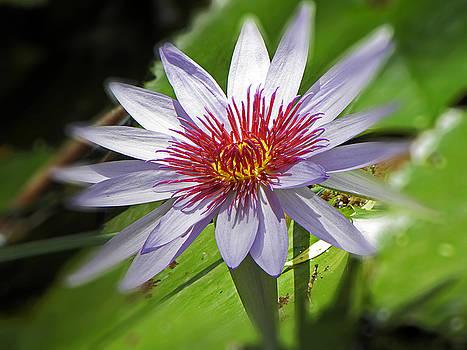 Elizabeth Hoskinson - Water Lillies at Waimea I