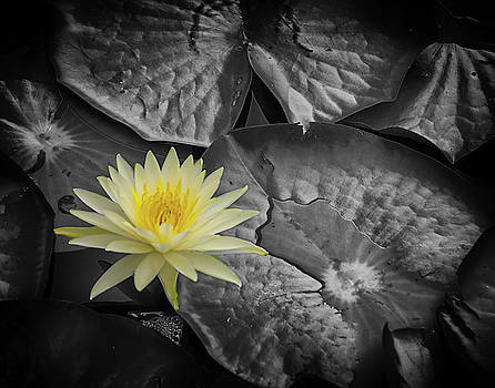Water Lilly by Dennis Dugan