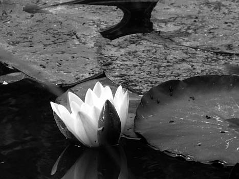 Water Lilly with Reflection by Noelle  Kimberley