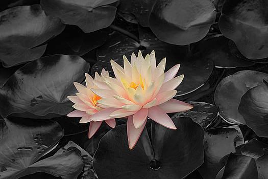Water lily 03 by Nick Kurzenko