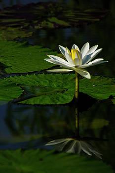 Water Lily 1 by Buddy Scott