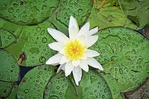 Water Lily After Rain by Matt Plyler