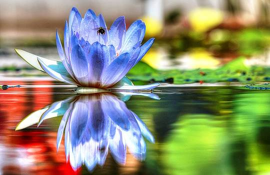 Water Lily And Bee by Carol Montoya