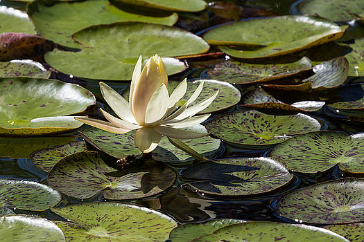 John Daly - Water Lily and Bee