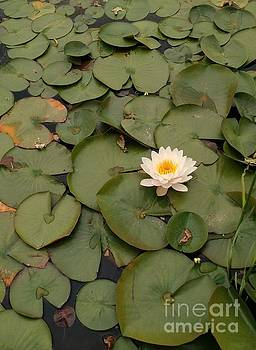 Water Lily by Anita Adams