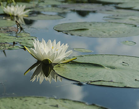Water Lily by Billy Stovall