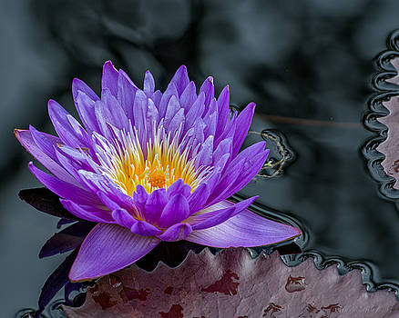 Water Lily Blue by Phil Abrams