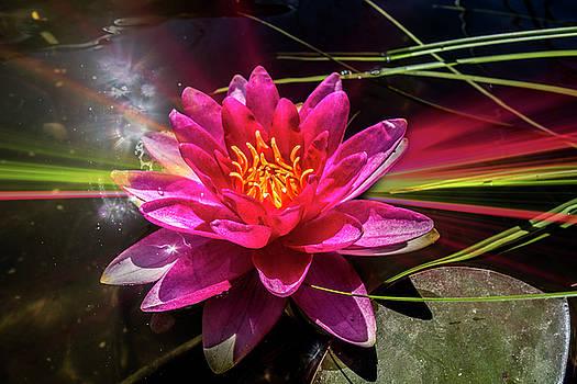 Water Lily Bordeaux  by Ivanoel Art