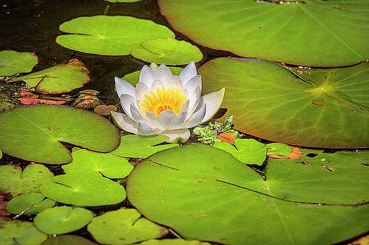 Water Lily by David Hare