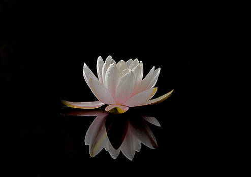 Water Lily by Elizabeth McPhee