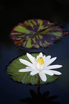 Water Lily Flower and Leafs by Dennis Kowalewski