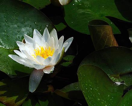 Edward Sobuta - Water Lily II