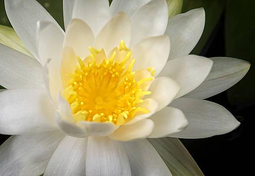 Ricky Barnard - Water Lily II