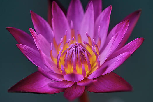 Water lily III by Ravi S R