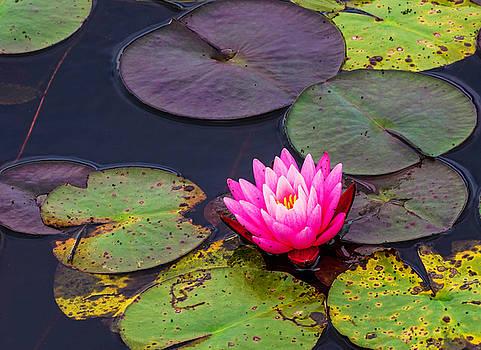 Water Lily by Jim Markiewicz