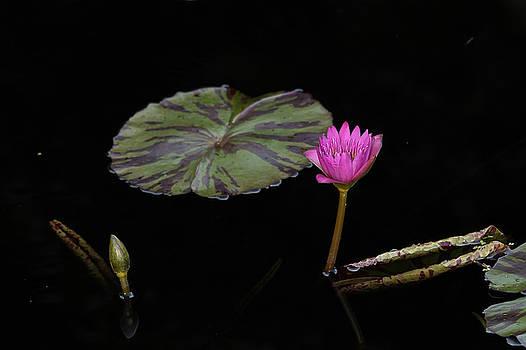 Water Lily by Jorge Mejias