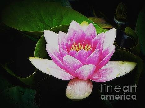 Water Lily by Karen Shackles