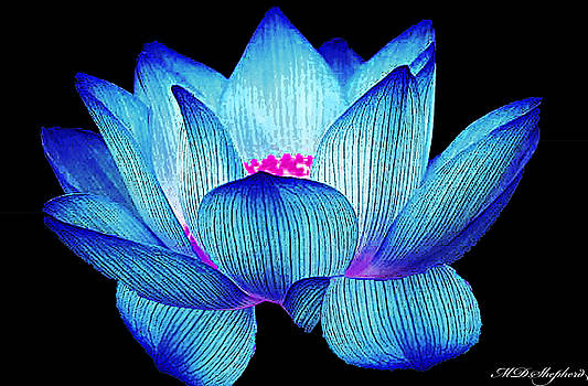 Water Lily by MS  Fineart Creations
