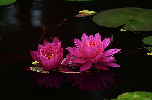 Water Lily by Nancy Landry