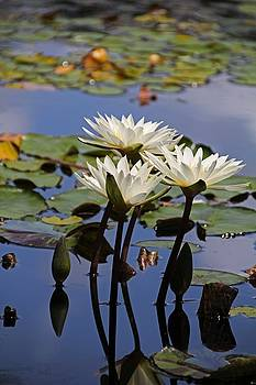 Water Lily Reflections by Michiale Schneider