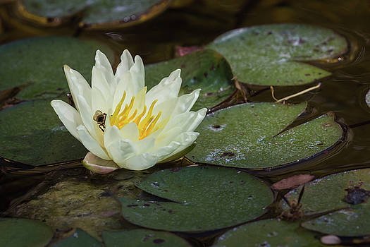 Rosemary Woods-Desert Rose Images - Water Lily