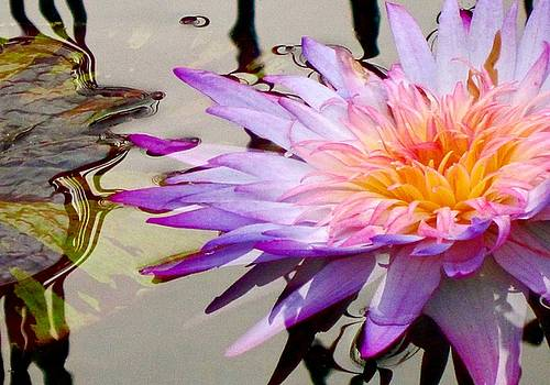 Water Lily by Shirley Kurian