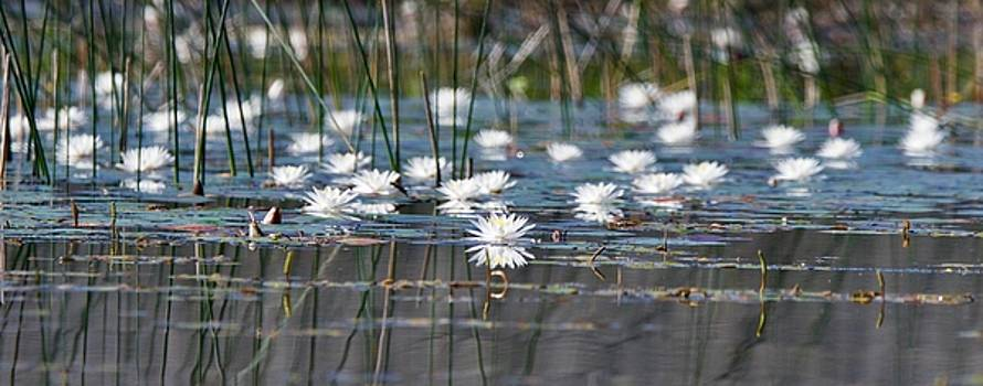 Water Lily Shoreline by Michael Peychich