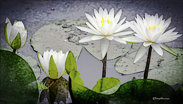 Water Lily Transitions by Deb Henman