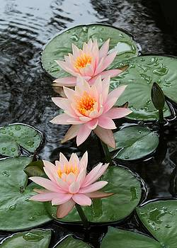 Sabrina L Ryan - Water Lily Trio