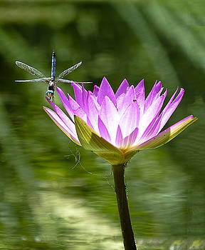 Water Lily with Dragon Fly by Bill Barber