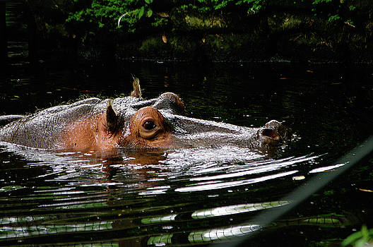 Water Pig by Paul Wash