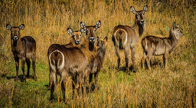 Waterbuck Group by Richard Goldman