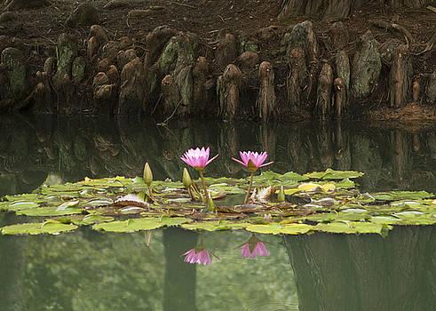 Waterlilies and Cyprus Knees by Linda Geiger