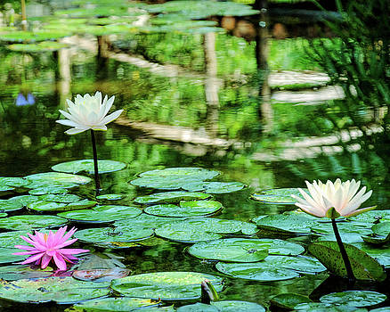Waterlilies at Zilker Park Bridge by Michael Ziegler