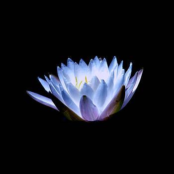 Waterlily 2 by David Weeks
