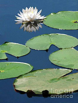 Sharon Williams Eng - Waterlily and Pads