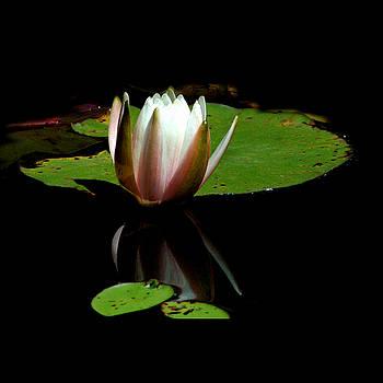 Waterlily by David Weeks