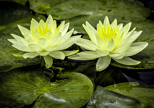 Venetia Featherstone-Witty - Waterlily Duet