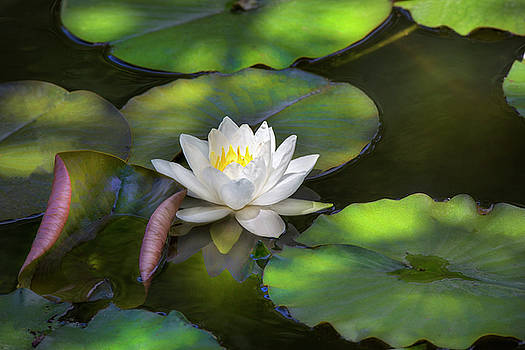 Waterlily in shade. by David Hare